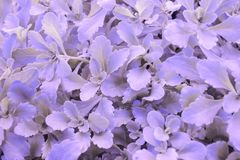 Backdround lilás da grama fotografia de stock