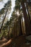 Backe av jätte- redwoodträdträdstammar i den Yosemite nationalparken Arkivbilder