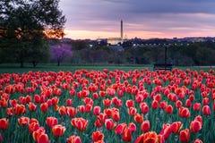 Backe av tulpan som förbiser Washington DCmonument Arkivbilder