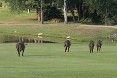 Backend of warthogs. Warthogs running away from us golfers on the Hans Merensky golf course, Phalaborwa, South Africa stock image