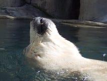 Backfloat dell'orso polare fotografia stock libera da diritti