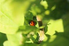 Backgarden-Fotografie Ladybyg Lizenzfreie Stockbilder