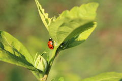 Backgarden photography Ladybug Royalty Free Stock Image