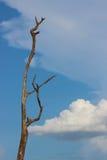 Backgorund da árvore inoperante e do céu azul Fotografia de Stock Royalty Free