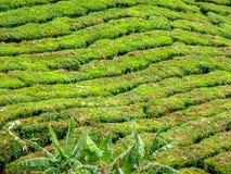 Backgorund della piantagione di tè in Malesia immagini stock