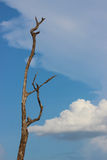 Backgorund för dött träd och för blå himmel Royaltyfri Fotografi