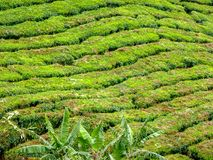 Backgorund of tea plantation in Malaysia stock images