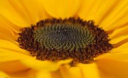Backgound макроса солнцецвета разбивочное Стоковая Фотография RF