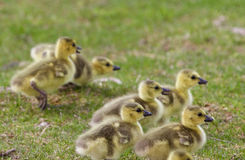 Backgound with the chicks of the Canada geese Stock Photography