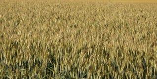 Backgound de blé Photos stock