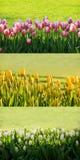Backgound de los tulipanes Imágenes de archivo libres de regalías