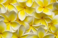 Backgound di Plumeria Fotografia Stock