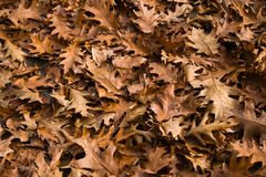 Backgound of fallen leaves - American oak Royalty Free Stock Image