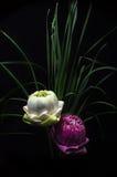 Backgound fois de noir de lotus de deux pétales Image libre de droits