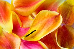 Backgound of Tulip Petals Stock Photography