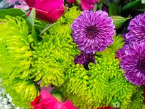 Backgound vert, pourpre, et rose coloré vibrant de mamans Photos libres de droits