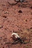 Backgounf de sol rouge avec le crâne animal dans l'avant Photos libres de droits