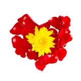 在白色backgr隔绝的红色玫瑰花瓣的黄色菊花 库存照片