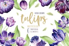 Backgraund floral del tulipán de la acuarela Ejemplo colorido aislado de la primavera Planta violeta del tulipán del Watercolour  stock de ilustración