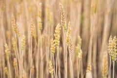 Backgrond de oro del trigo Paisaje con el campo de trigo Foto de archivo