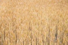 Backgrond de oro del trigo Paisaje con el campo de trigo Foto de archivo libre de regalías