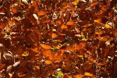 Backgroond des Herbstlaubs Stockbilder