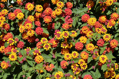 Backgropund of lantana flowers Stock Image