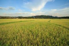 Backgrou nuvoloso del paesaggio della nuvola del cielo blu dell'erba di giallo del giacimento del riso Immagini Stock Libere da Diritti