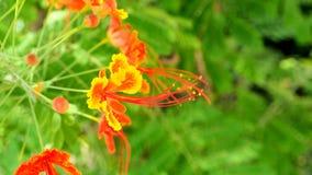 Backgrou vermelho e amarelo do pulcherrima do ofCaesalpinia de Panicle da flor Fotografia de Stock Royalty Free