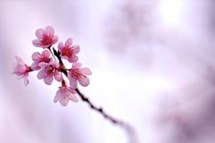 Backgroud bonito, Cherry Blossom Imagens de Stock
