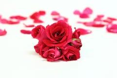 Backgroud das rosas vermelhas com pétalas Foto de Stock Royalty Free