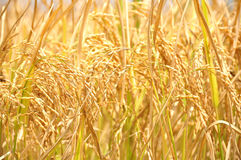 Backgroud golden ear of rice. Close gold rice field background Royalty Free Stock Image