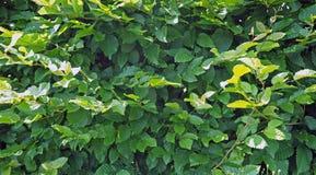 Backgroud organico di struttura delle foglie verdi del Ironwood fotografia stock
