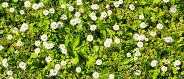 backgroun des marguerites blanches et de l'herbe verte photos libres de droits