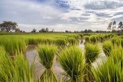 Backgroun nublado del paisaje de la nube del cielo azul de la hierba verde del campo del arroz imágenes de archivo libres de regalías
