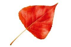 Backgroun rosso di bianco del pioppo del foglio di autunno Fotografia Stock