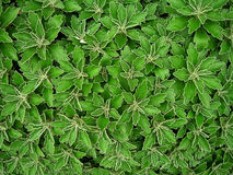 Background. There are rules constitute the background of green leaves Stock Photos