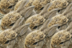 Background. With small nice gray rabbits on hay Royalty Free Stock Photo