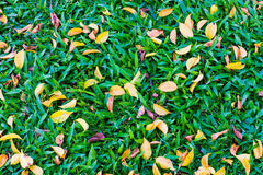 Background. Leaves color in the garden. I try to take used for background, texture, wallpaper, or another user to want it Royalty Free Stock Images