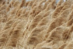 Background. Reed plot at winter stock images