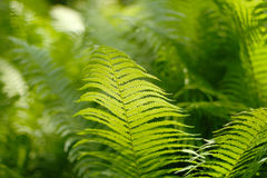 Background with abstract motif of fern. A series of abstract photos of ferns. Some are completely blurred with only a small bit of sharp. Other pictures in the Royalty Free Stock Images