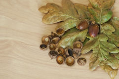 Background of acorn cluster with oak leaves Royalty Free Stock Image