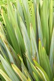 Background agaves leaves Royalty Free Stock Image