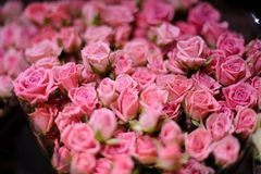 Background of a amazingly beautiful pink roses Stock Image