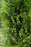 Background with american arborvitae Stock Photos