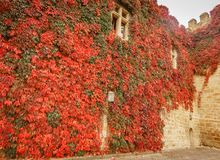 Background of ancient castle wall covered with ivy. Autumn background of ancient castle wall covered with ivy stock photo