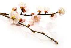 Background .apricot blossoms in closeup Stock Photography