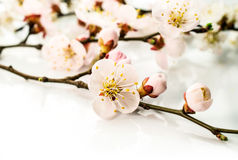 Background .apricot blossoms in closeup Royalty Free Stock Photo