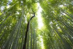 Arashiyama bamboo forest  in kyoto japan. Background of arashiyama bamboo forest  and  black tree the famous place in kyoto ,japan Stock Photos