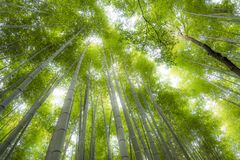 Arashiyama bamboo forest  in kyoto japan. Background of arashiyama bamboo forest the famous place in kyoto ,japan Stock Photography
